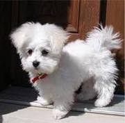saint  valentine maltese  puppies  for  sale