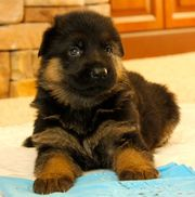 Cute Male and Female German Shepherd Dog Puppies For Adoption