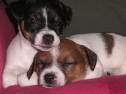 Sweet Jack Russell Puppies for Adoption