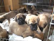 Gorgeous Mastiff Puppies For  Adoption
