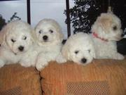 Female Bichon frise puppy for re homing