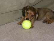 Both short and Long haired Dachshund Puppies