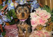 Great Kc Registered T-Cup Size Yorkshire Terrier Puppies