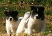 Lovely Akita puppies available for good home