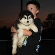 Alaskan malamute puppies available for good home