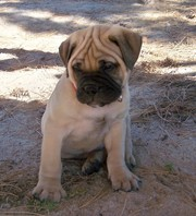 Bullmastiff puppies available for good home