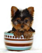 Gorgeous Male and Female Teacup Yorkie Puppies For Adoption