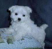 Adorable Maltese  Puppy  For Adoption