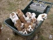 affectionate home raised english bulldog puppies for sale