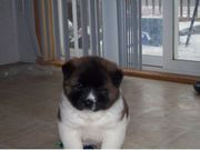 Cute UKC Akita Puppies for sale