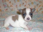 Cute UKC Chihuahua Puppies for sale