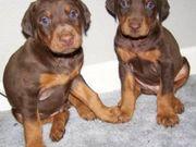 Cute Doberman Pinscher Puppies for sale