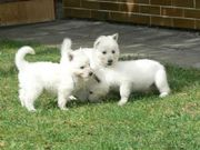 Adorable UKC German Shepherd Puppies for sale