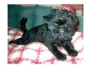 Cute UKC Affenpinscher Puppies for sale