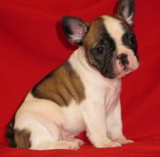 Adorable French Bulldog Puppies Ready to go