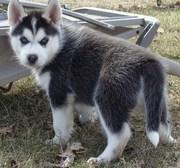 Blue Eyes Siberian Husky Puppies for Adoption