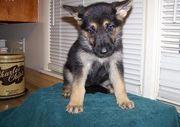Healthy German Shepherd Puppies Ready to go