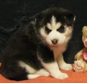 Awesome Siberian Husky Puppies For Sale