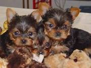 cute yorkshire puppies for adoption