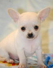 Healthy Chihuahua puppies available