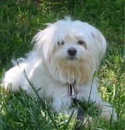 Quality Maltese puppies occasionally