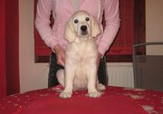 Golden Retriver Puppies For Sale