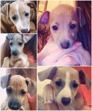 Puppies for sale in Kerry 'Italian (miniature/toy) greyhounds!
