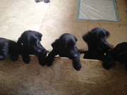 Vizsla Labrador puppies for sale